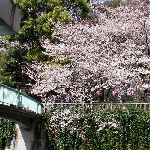 Sakura0329_2