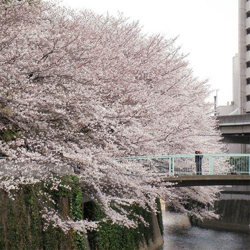 Sakura0329_3