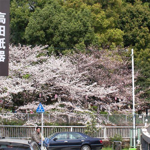 Sakura0329_4