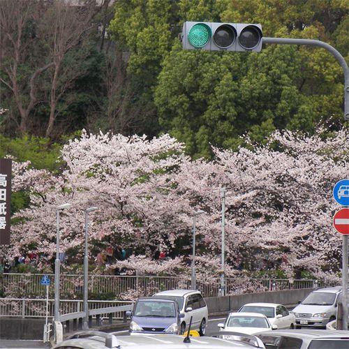 Sakura0401_1