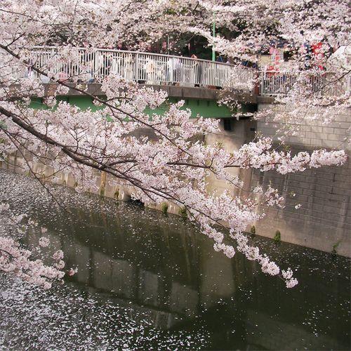 Sakura0401_2