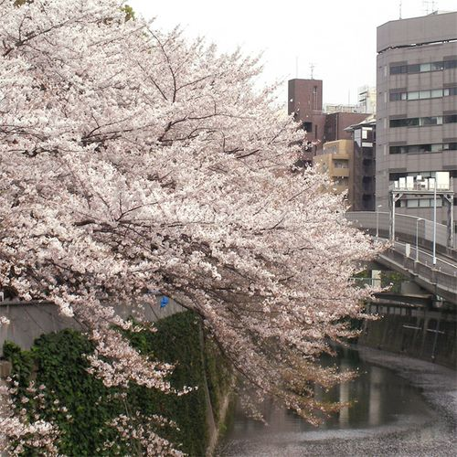 Sakura0401_3