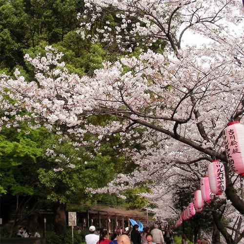 Sakura0401_4