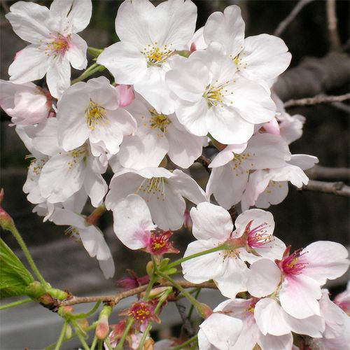 Sakura0401_5