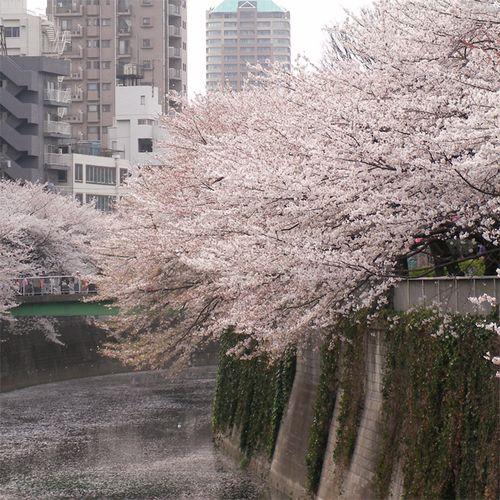 Sakura0401_6