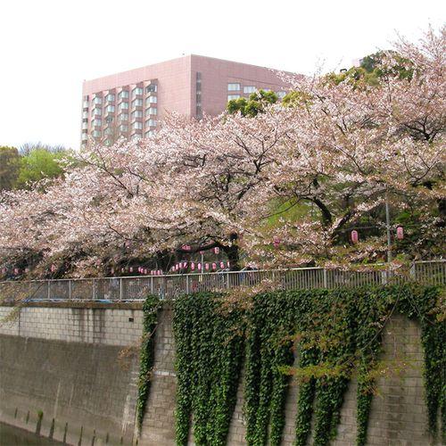 Sakura0406_1