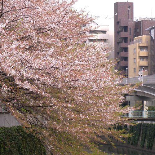 Sakura0406_2