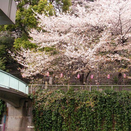 Sakura0406_4
