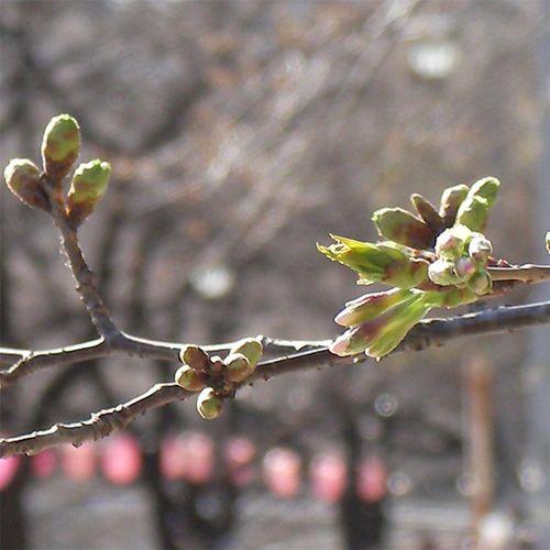 Sakura_0320