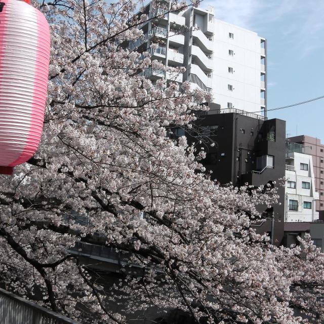 Sakura2017_102
