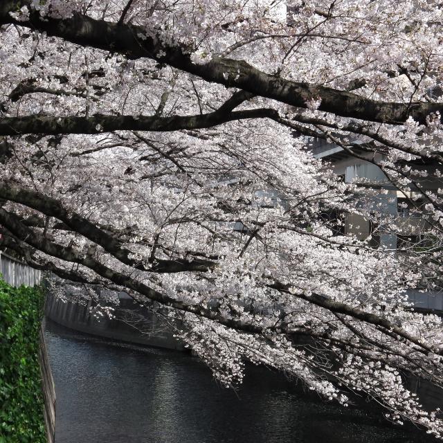 Sakura2017_103