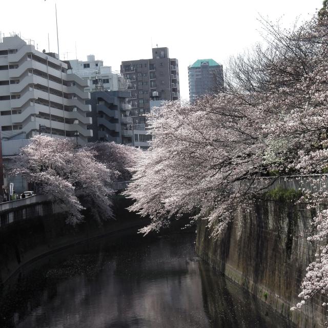 Sakura2017_105
