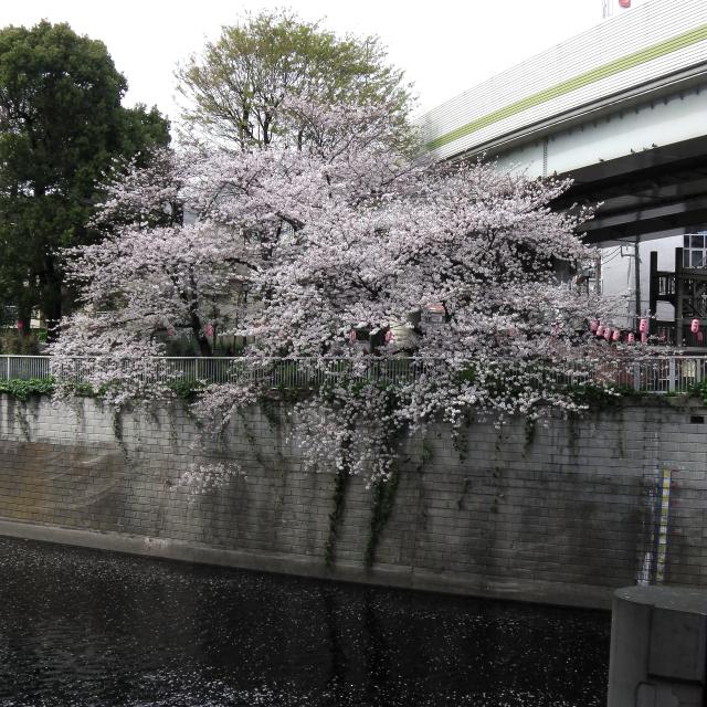 Sakura2017_108