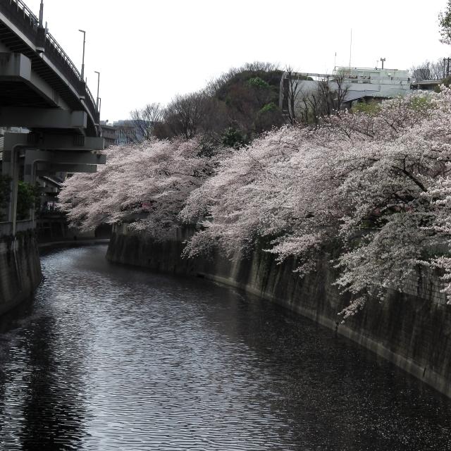 Sakura2017_109