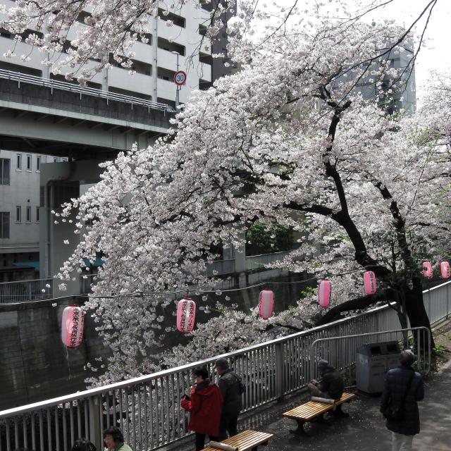 Sakura2017_111