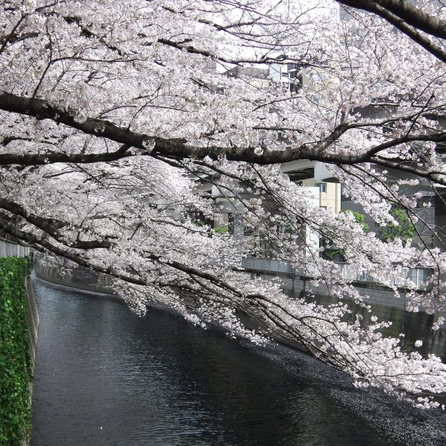 Sakura2017_113