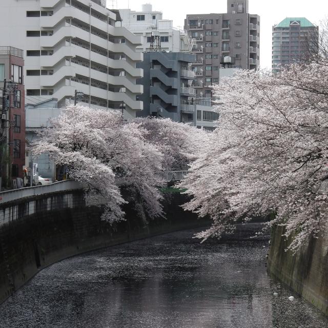 Sakura2017_114
