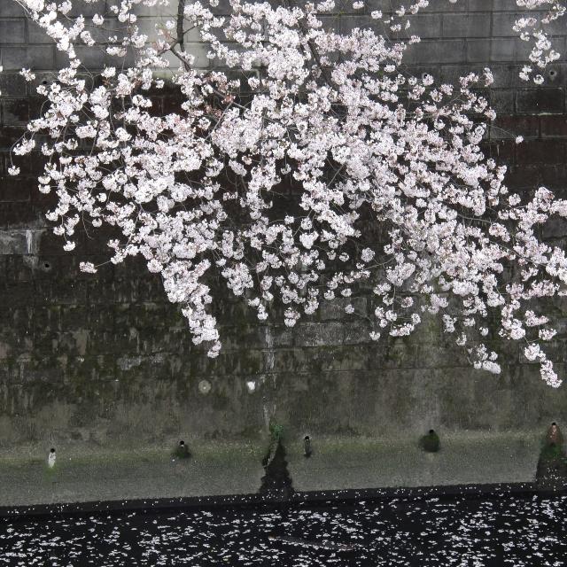 Sakura2017_116