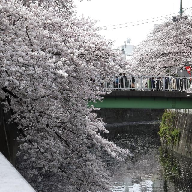 Sakura2017_119