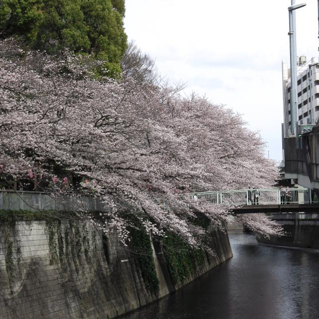 Sakura2017_121