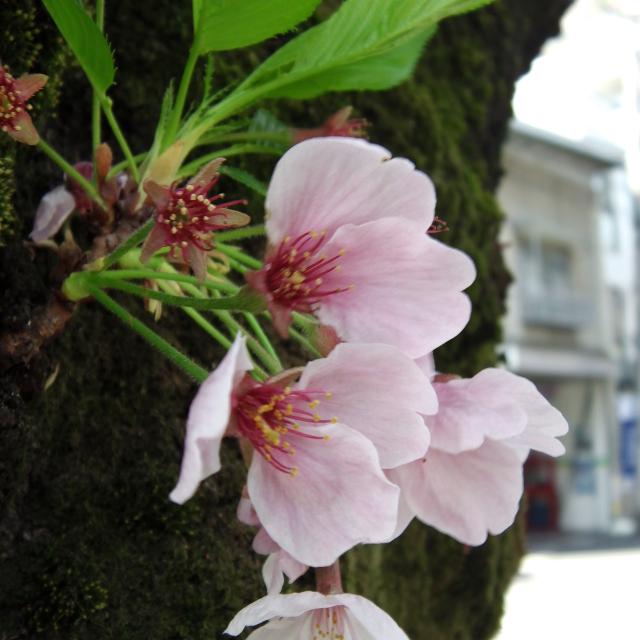 Sakura2017_132