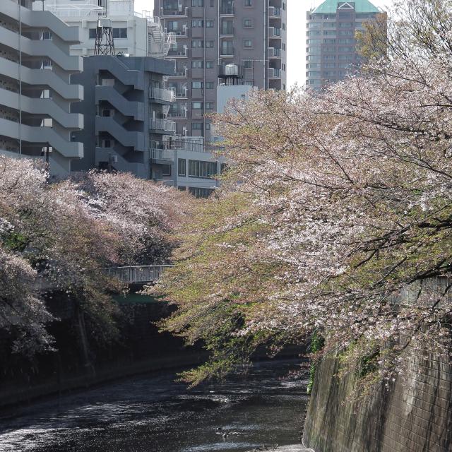 Sakura2017_136