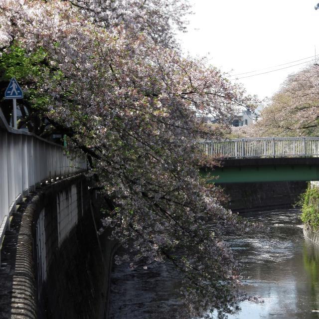 Sakura2017_140