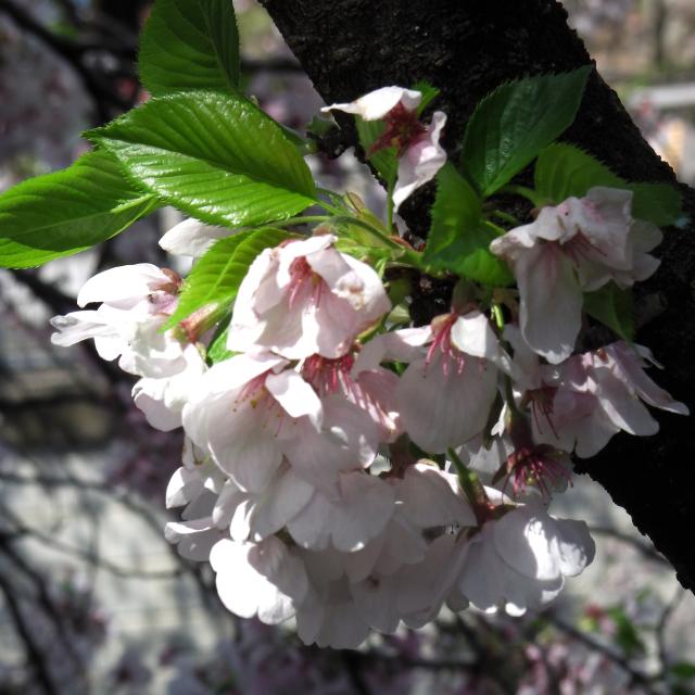 Sakura2017_144