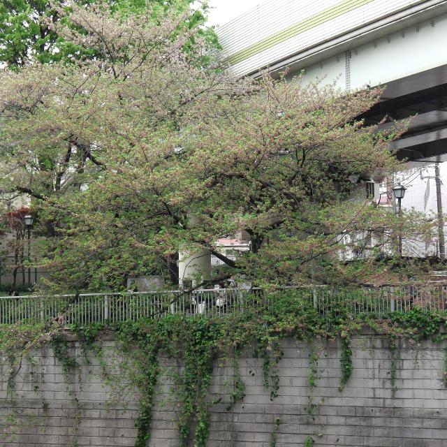 Sakura2017_146