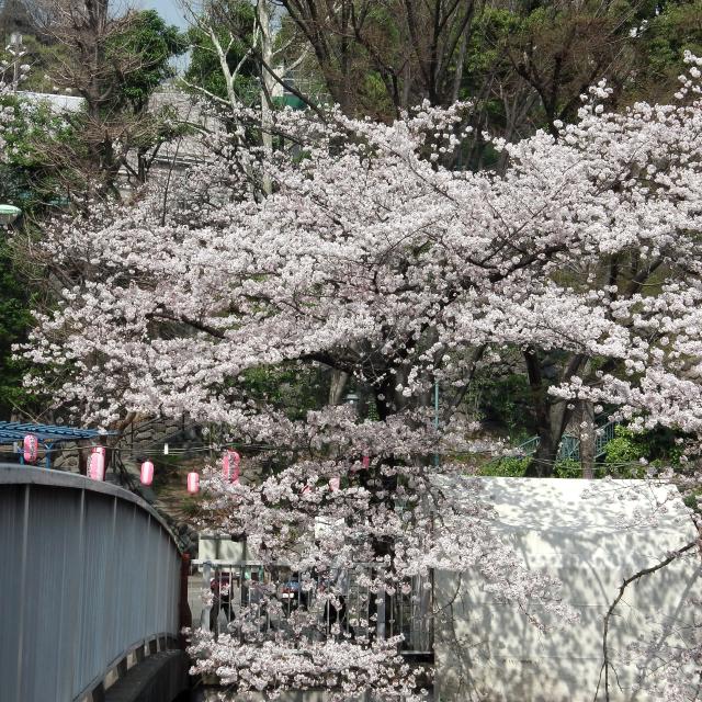 Sakura2018_042