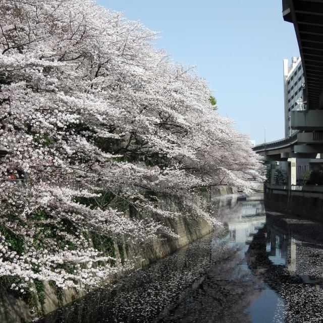 Sakura2018_046