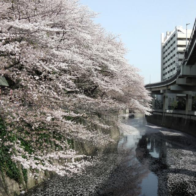 Sakura2018_051
