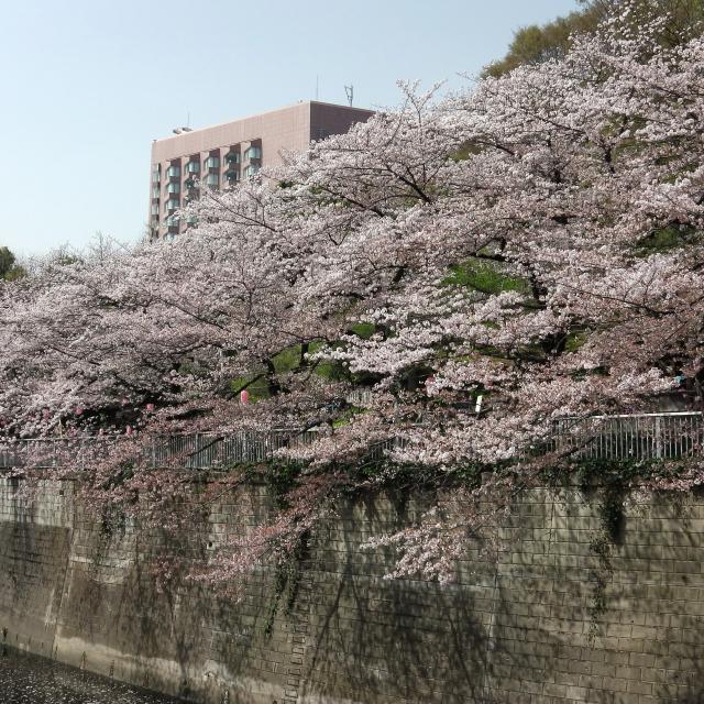 Sakura2018_055