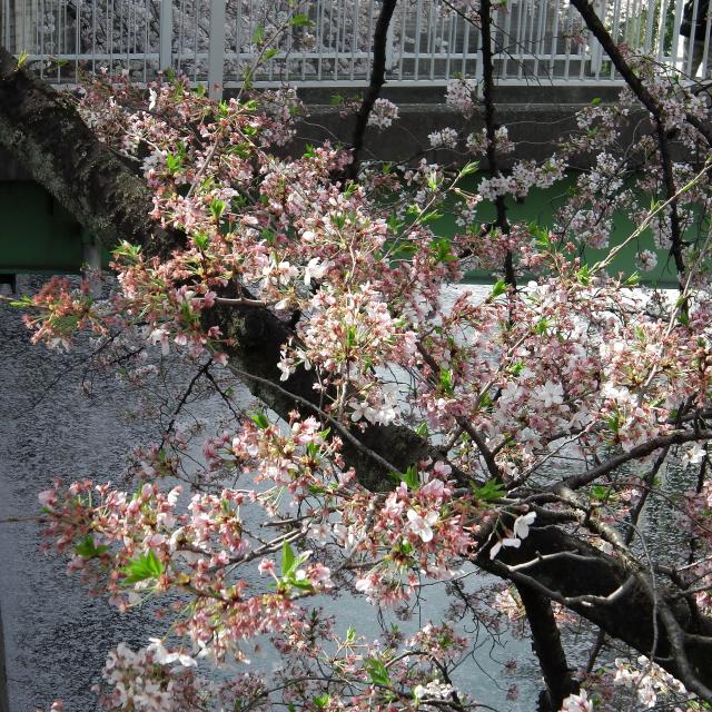 Sakura2018_057