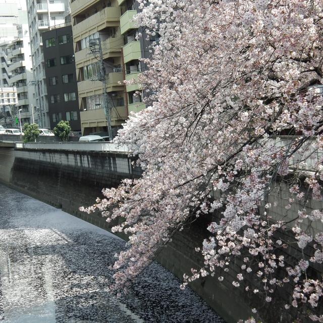 Sakura2018_060