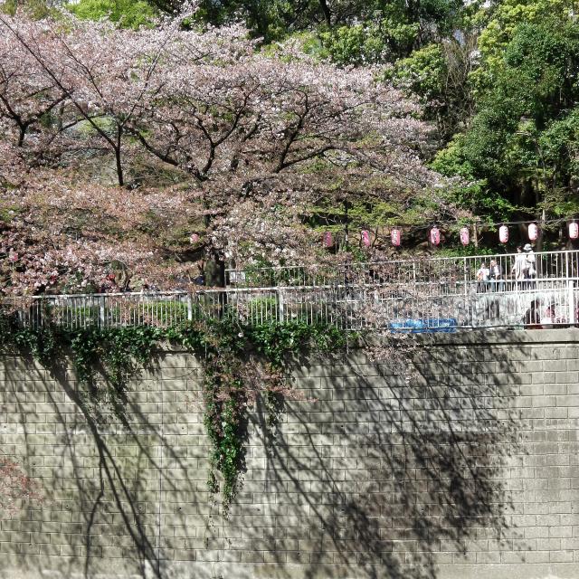 Sakura2018_063