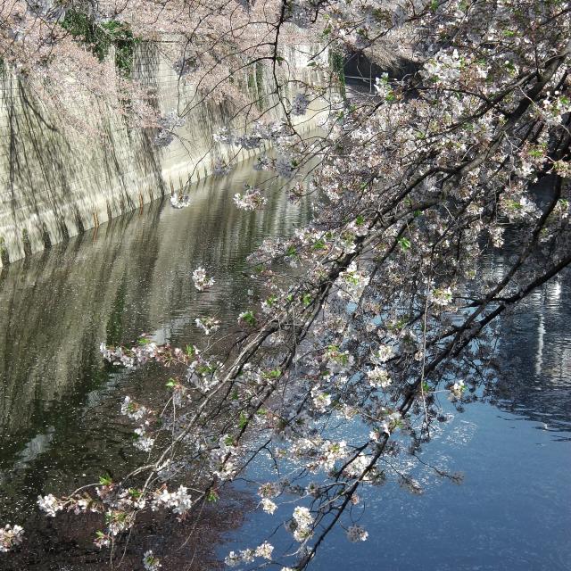 Sakura2018_070