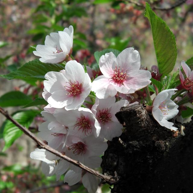 Sakura2018_087