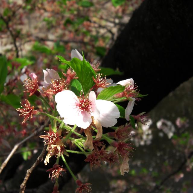 Sakura2018_088